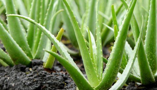 Aloe vera je puno više od dekoracije: uz pomoć ove ukrasne biljke možemo se boriti protiv brojnih zdravstvenih problema