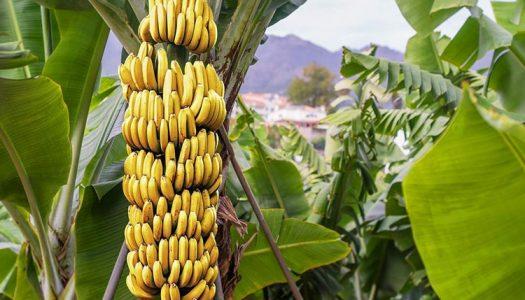Nakon deset godina u ugostiteljstvu osnovao OPG, a uzgaja i – banane!